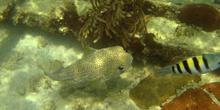 Pez globo (Diodon sp.)