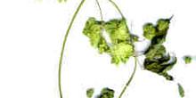 Flor y hojas del lúpulo