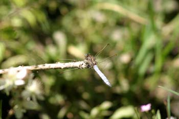 Libélula flecha azul (Orthetrum coerulescens)