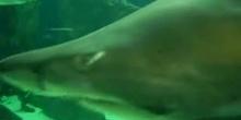 Tiburón toro (Carcharias taurus)