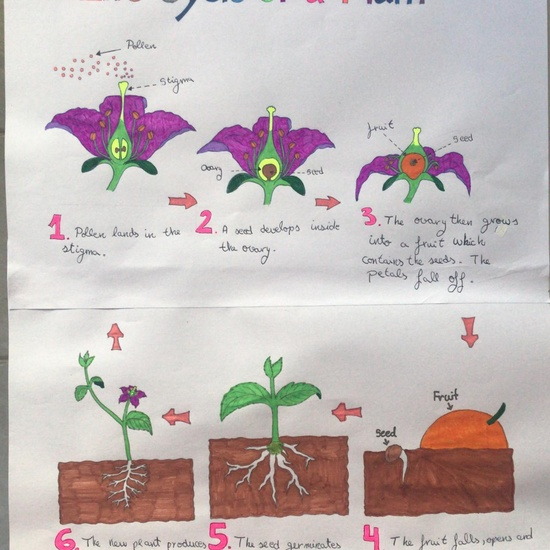 Lucia Life Cycle of a plant