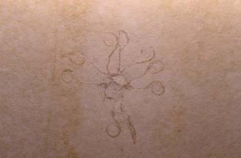 Saccocoma sp. (Crinoideo) Jurásico