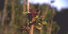 Àrbol del cielo - Renuevos (Ailanthus altissima)