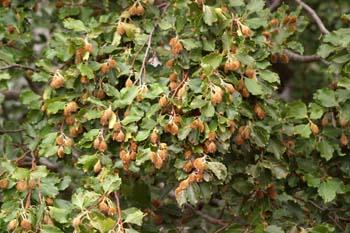 Haya - Fruto (Fagus silvatica)