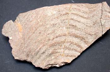 Stomatopora sp. (Esponja-Briozoo) Devónico