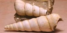 Turritella terebra (Molusco-Gasterópodo) Eoceno