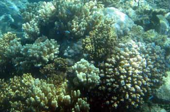 Colonia de coral, Australia