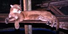 Puma en el zoológico de Flores, Guatemala