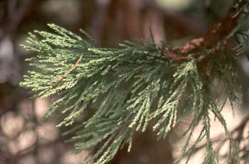 Secuoya gigante - Hojas (Sequoiadendron giganteum)