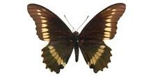 Battus archidamas (Sudamérica)