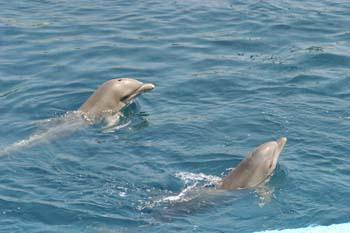 Delfín mular (Tursiops truncatus)