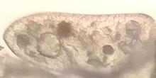 Cerva-L-03-01-02-paramecio