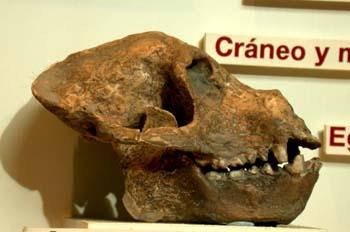 Aegyptopithecus zeuxis (Mamíferos) Pleistoceno