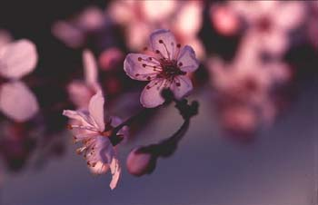 Ciruelo japonés (Prunus cerasifera)