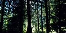 Bosque de coníferas en las Montañas Rocosas