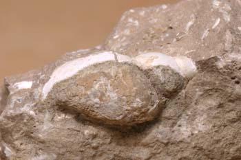 (Molusco-Gasterópodo) Jurásico