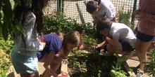 2019_06_11_4º observa insectos en el huerto_CEIP FDLR_Las Rozas 42