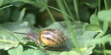 Caracol común (Helix aspersa)
