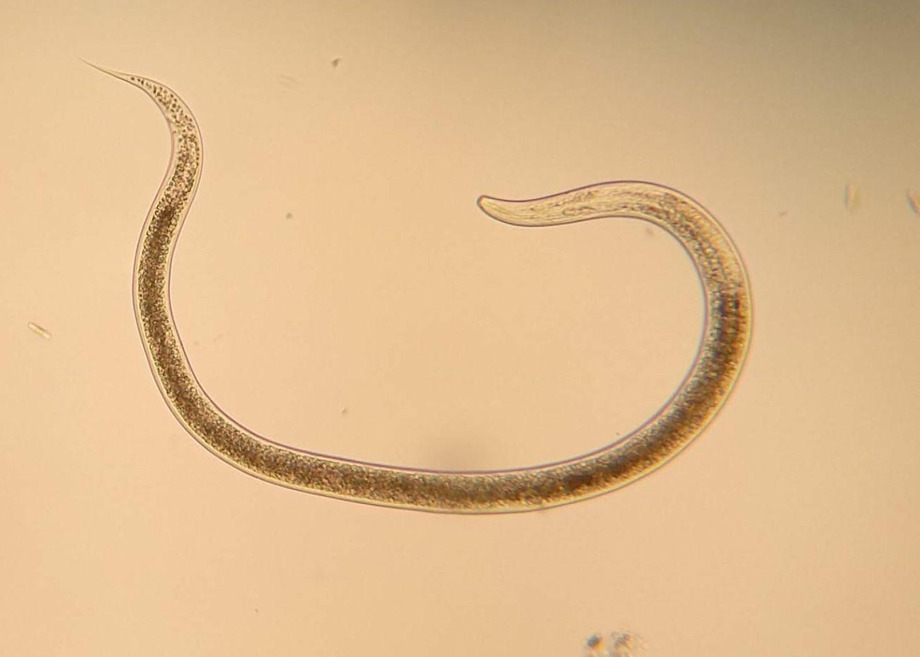 Nematodo monhystera filiformis