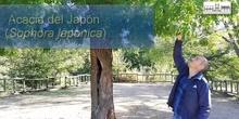 """Acacia del Japón en """"El Forestal"""""""