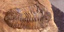 Calymene tristani (Trilobites) Ordovícico