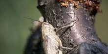 Langosta egipcia (Anacridium aegyptium)