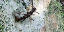 Fasmino Alado, Sipyloidea Sipylus, atrapado en una tela de araña