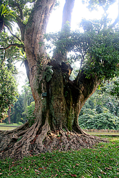 árbol del Lichi, Jardín botánico, Java, Indonesia