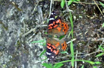 Mariposa ,Baños, Ecuador