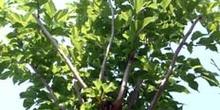 Poda de formación de un árbol
