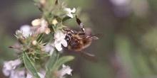 Abeja de la miel (Apis mellifera)