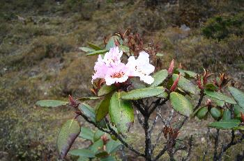 Flores: Rododendro