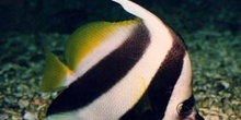Pez mariposa portaestandarte (Heniochus acuminatus)