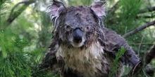 Koala mojado