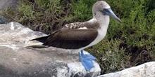 Piquero de patas azules, Ecuador