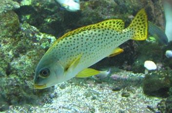 Besucon marino (Plectorhinchus gaterinus)