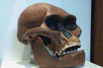 Australopithecus africanus (Mamíferos) Pleistoceno