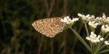 Doncella (Melitaea sp.)