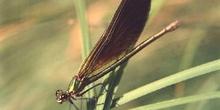 Caballito del diablo verde (Calopteryx splendens)