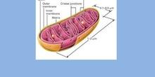 Mitocondria  (eucariota vegetal)