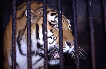 Tigre siberiano en el zoológico de Darjeeling, India