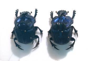 Megaphanaeus lancifer (Suramérica)