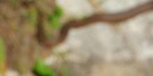 Culebra viperina Natrix maura Linnaeus, 1758