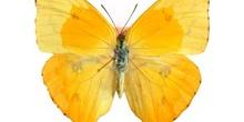 Phoebis philea (Ecuador)