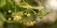 Tilo común - Capullos (Tilia platyphyllos)