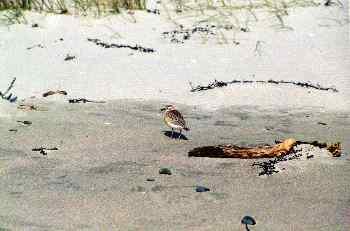 Pájaro en playa cercana a cabo de Reinga, Nueva Zelanda