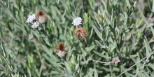 Celtis australis_tronco