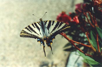 Chupaleche (Iphiclides podalirius)