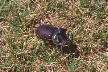 Escarabajo rinoceronte (Oryctes nasicornis)