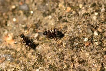 Hormiga (Formicidae fam.)